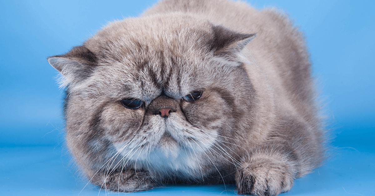 Introduction to Cat Behaviour Certificate
