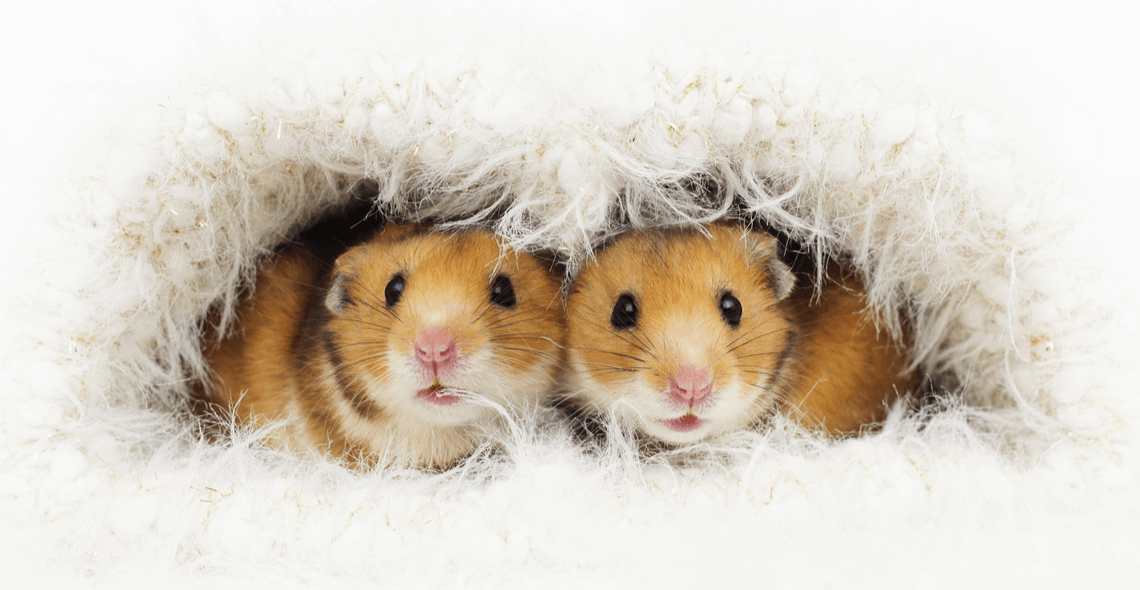 Rat/Mouse/Hamster Care Certificate